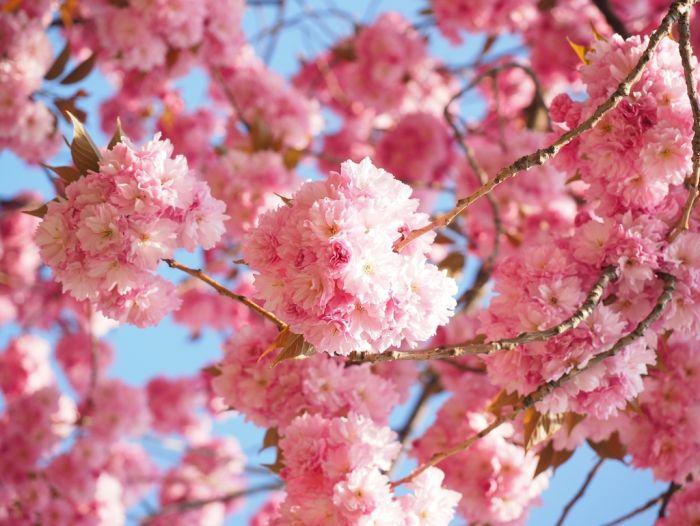 Kirschen japanische Japanische Blütenkirsche