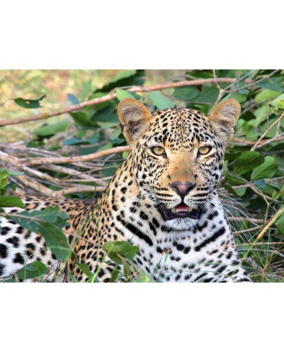 Lais Puzzle - Leopard - 500 Teile