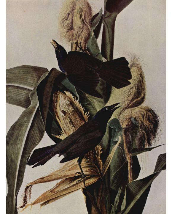 Lais Puzzle - John James Audubon - Purpurbootschwanz - 1.000 Teile