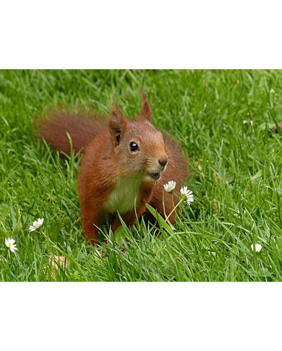 Lais Puzzle - Eichhörnchen - 500 Teile