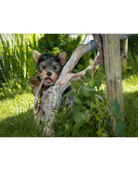 Lais Puzzle - Yorkshire Terrier - 1.000 Teile