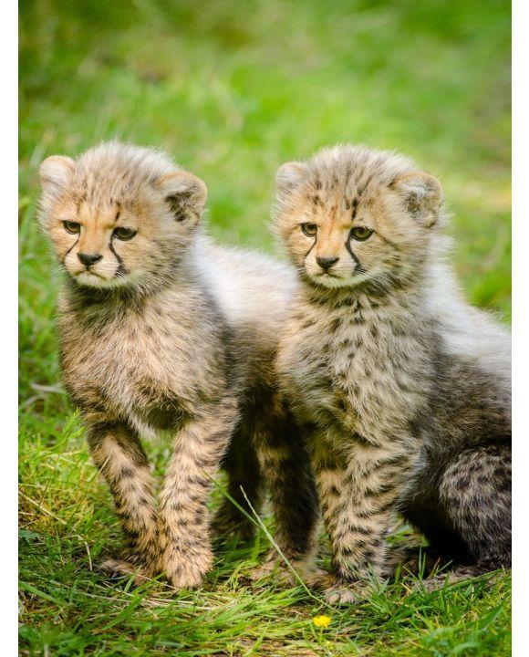 Lais Puzzle - Junge Geparden - 1.000 Teile