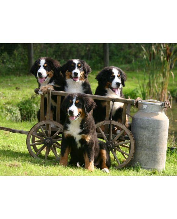 Lais Puzzle - Berner Sennenhund - 100, 200, 500, 1.000 & 2.000 Teile