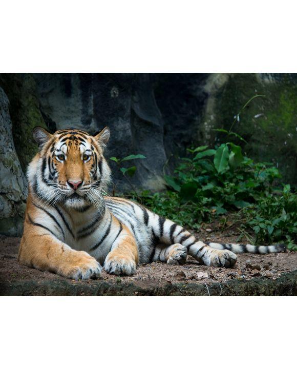 Lais Puzzle - Tiger - 2.000 Teile