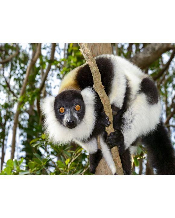 Lais Puzzle - Lemur - 2.000 Teile