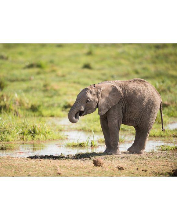 Lais Puzzle - Junger afrikanischer Elefant - 2.000 Teile