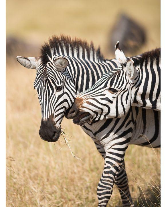 Lais Puzzle - Zebras im Serengeti Nationalpark - 2.000 Teile
