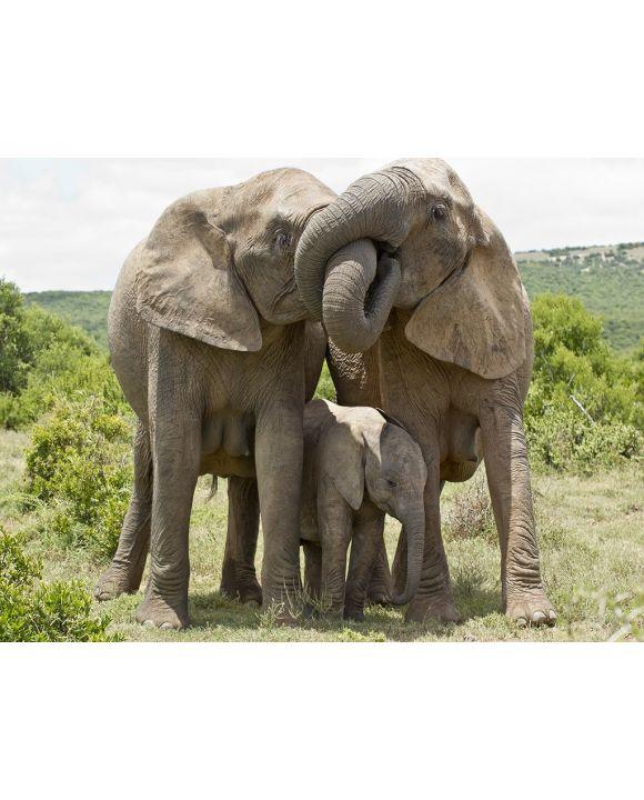 Lais Puzzle - Elefanten - 2.000 Teile