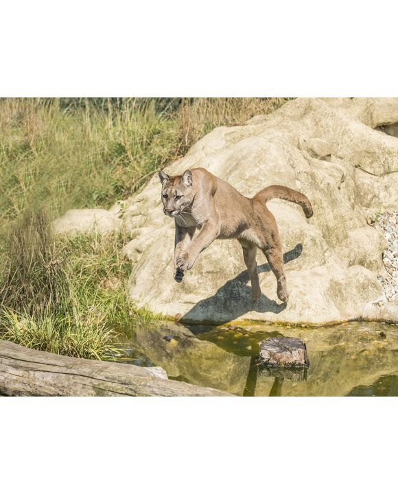 Lais Puzzle - Springender Puma - 2.000 Teile