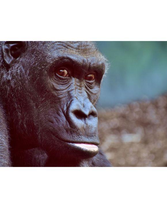 Lais Puzzle - Gorilla - 100, 200, 500, 1.000 & 2.000 Teile