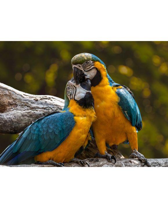 Lais Puzzle - Papageien - 1.000 Teile