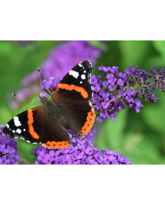 Lais Puzzle - Schmetterling - 500 Teile