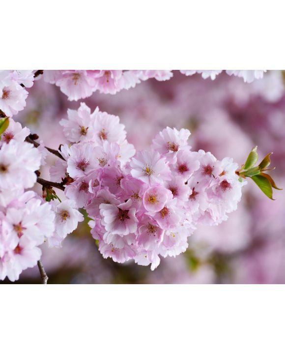 Lais Puzzle - Kirschblüten - 1.000 Teile