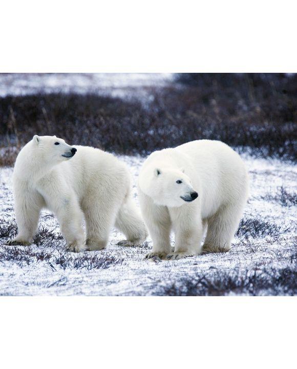 Lais Puzzle - Eisbären - 1.000 Teile