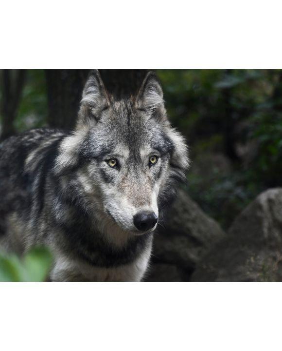 Lais Puzzle - Wolf - 1.000 Teile
