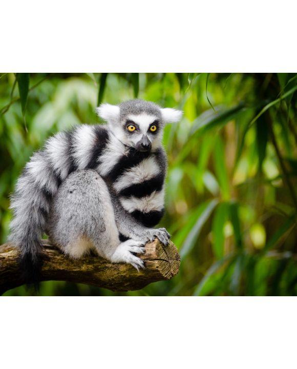 Lais Puzzle - Lemur - 100, 200, 500, 1.000 & 2.000 Teile