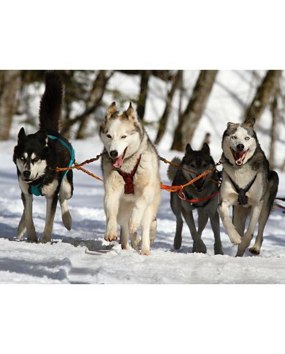 Lais Puzzle - Huskies - 100, 200, 500, 1.000 & 2.000 Teile
