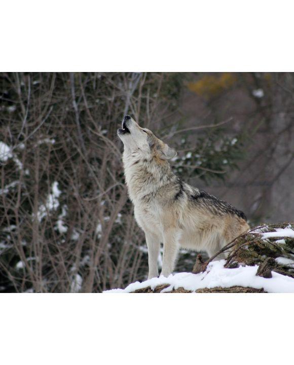 Lais Puzzle - Wolf - 2.000 Teile