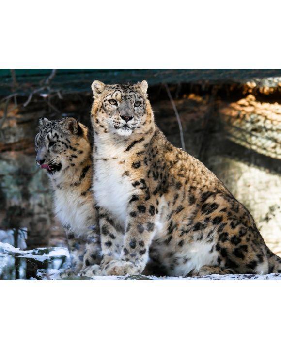 Lais Puzzle - Leoparden - 100, 200, 500, 1.000 & 2.000 Teile