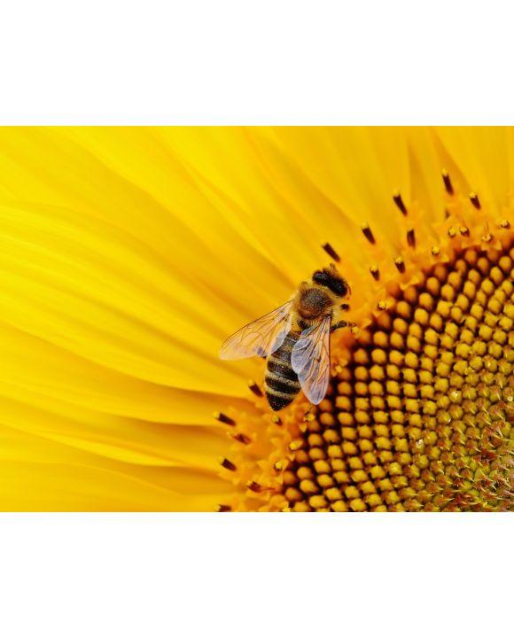 Lais Puzzle - Biene auf Sonnenblume - 100, 200, 500, 1.000 & 2.000 Teile