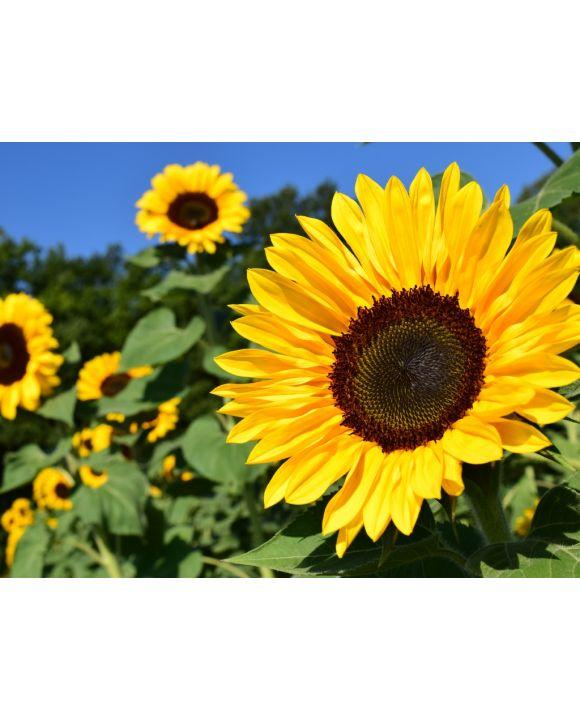 Lais Puzzle - Sonnenblumenfeld - 2.000 Teile