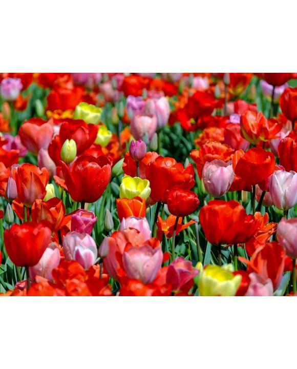 Lais Puzzle - Tulpen - 1.000 Teile