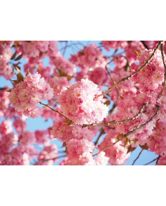 Lais Puzzle - Japanische Kirsche Kirschblüte - 1.000 Teile