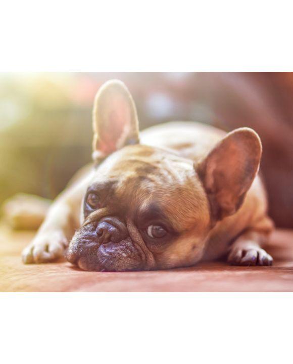 Lais Puzzle - Bulldogge - 1.000 Teile