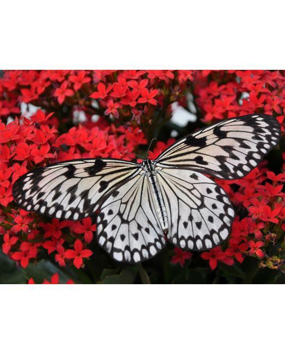Lais Puzzle - Schmetterling   - 1.000 Teile