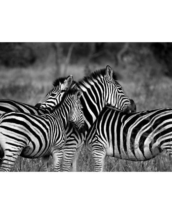 Lais Puzzle - Zebras - 1.000 Teile