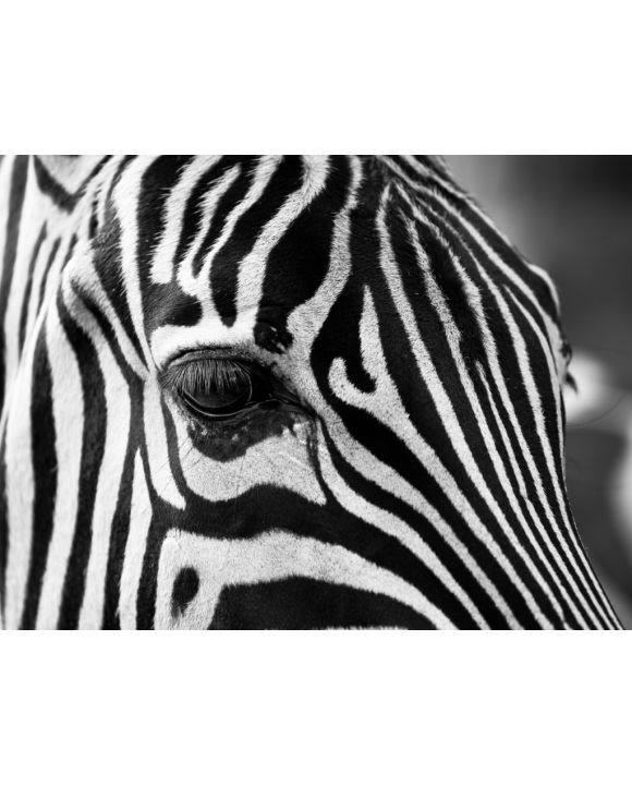 Lais Puzzle - Zebra - 100, 200, 500, 1.000 & 2.000 Teile
