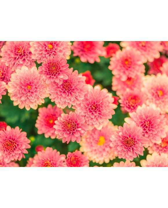 Lais Puzzle - Rosa Blumen - 100 Teile