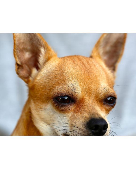 Lais Puzzle - Chihuahua - 100, 200, 500, 1.000 & 2.000 Teile