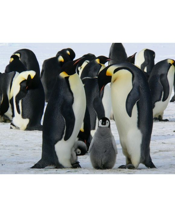 Lais Puzzle - Pinguine - 500 & 1.000 Teile