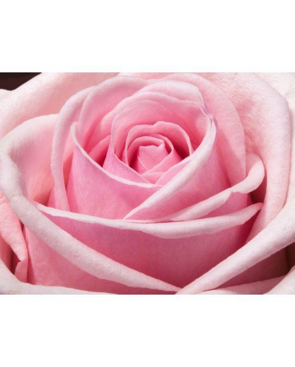 Lais Puzzle - Rose - 1.000 Teile
