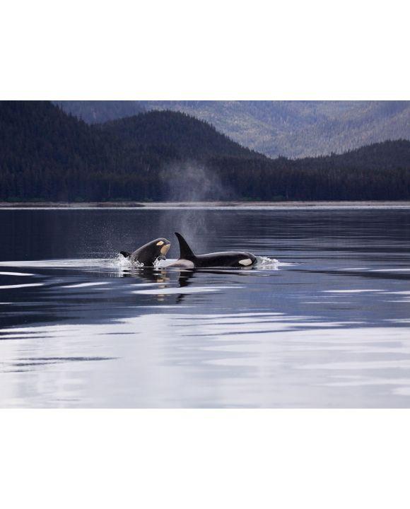 Lais Puzzle - Orcas - 1.000 Teile