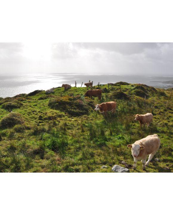 Lais Puzzle - Kühe Irland - 100, 200, 500, 1.000 & 2.000 Teile