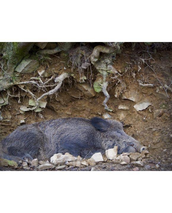 Lais Puzzle - Wildschwein Ardennen Belgien - 100, 200, 500, 1.000 & 2.000 Teile