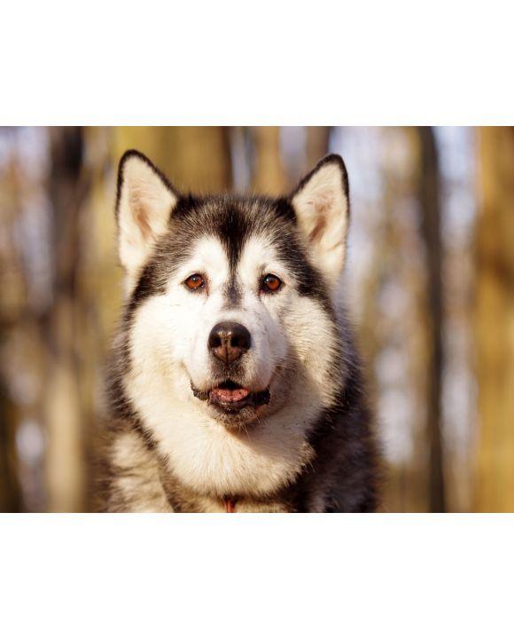 Lais Puzzle - Schlittenhund - Husky - 500 & 1.000 Teile