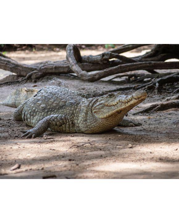 Lais Puzzle - Krokodil - 500 & 1.000 Teile