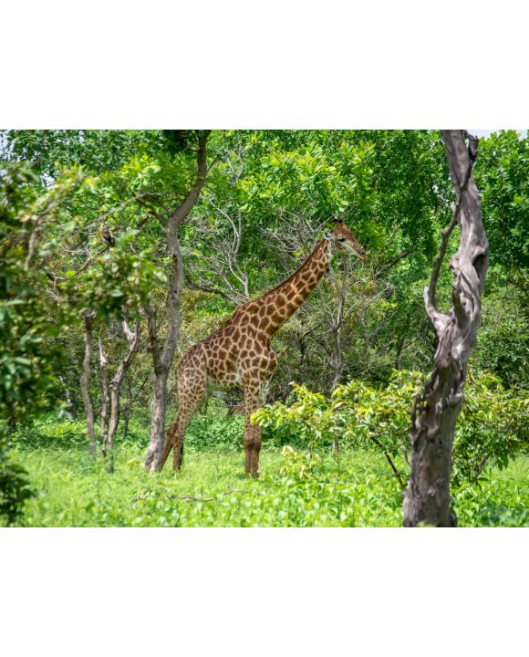 Lais Puzzle - Giraffe - 500 & 1.000 Teile