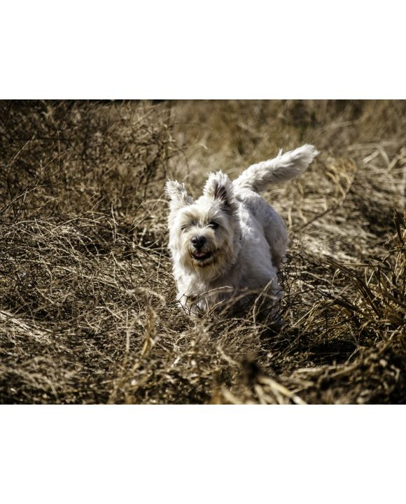 Lais Puzzle - Irish Glen of Imaal Terrier - 500 & 1.000 Teile