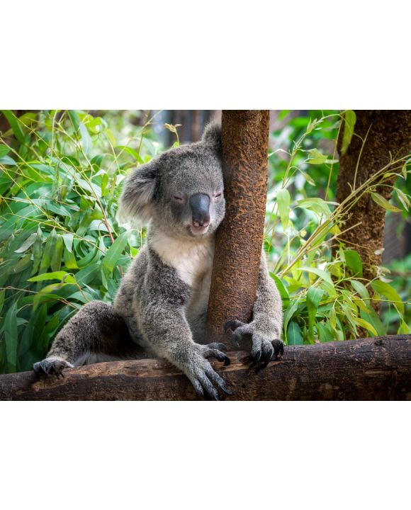 Lais Puzzle - Koala - 100, 200, 500 & 1.000 Teile