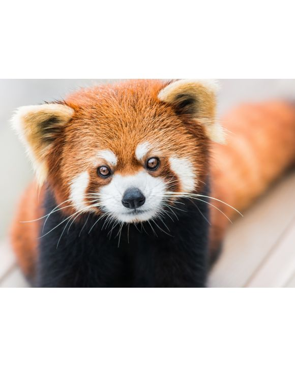 Lais Puzzle - Kleiner Panda/Roter Panda - 100, 200, 500 & 1.000 Teile