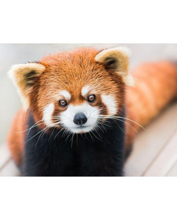 Lais Puzzle - Kleiner Panda/Roter Panda - 100, 200, 500, 1.000 & 2.000 Teile