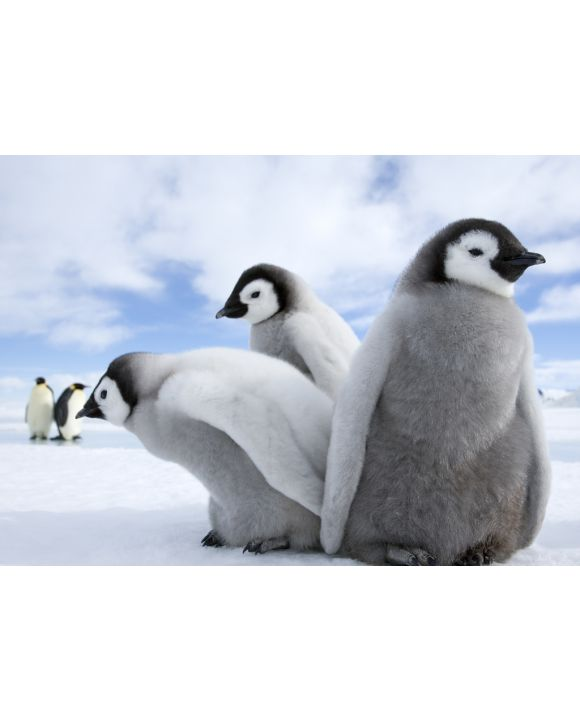 Lais Puzzle - Pinguine / Kaiserpinguine - 100, 200, 500 & 1.000 Teile