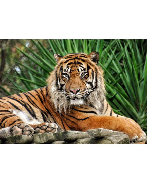 Lais Puzzle - Tiger - 100, 200, 500 & 1.000 Teile