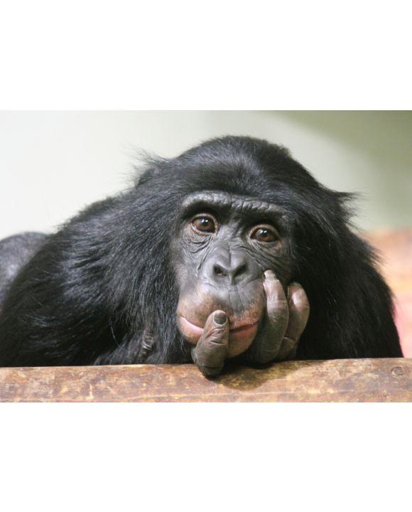 Lais Puzzle - Schimpanse - 100, 200, 500 & 1.000 Teile