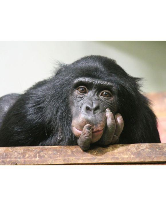 Lais Puzzle - Schimpanse - 500 & 1.000 Teile