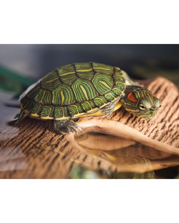 Lais Puzzle - Kleine Schildkröte auf braunem Stein - 500 & 1.000 Teile